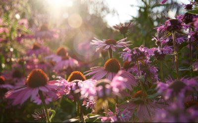 Blomsterfotografering – lyset